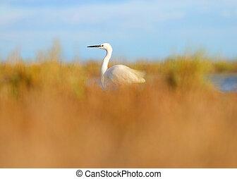 Egret in wild nature