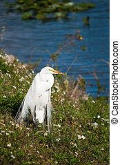 egret, lakeside, grand
