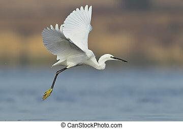 egret, liden, fly, hvid