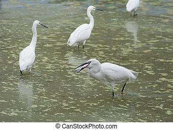 egret, liden, fugl