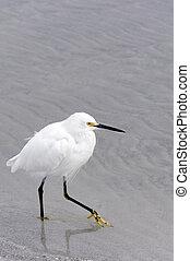 Egret, marche, sable, neigeux