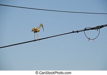 Egret on Power Line