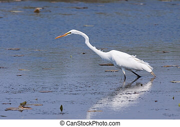 An egret slowly wades through a shallow pond in search of food.