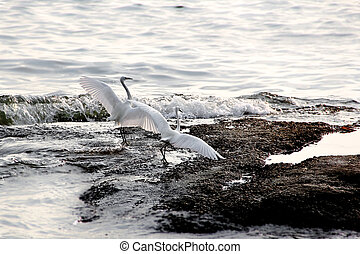 Egret On the sea Beautiful