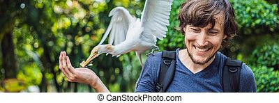 egret, peu, alimentation, bannière, format, eaux, jeune, long, bubulcus, ibis, bord, bétail, homme, ibes, park.