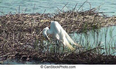 Egret Preening - Egret preening in the marsh