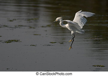 Egret Preparing to Land - Egret about to touch down in the ...