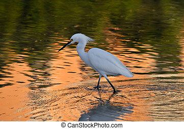 Egret Reflection - White egret golder reflection at Sunset.
