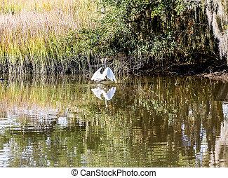 Egret Running Through Marsh
