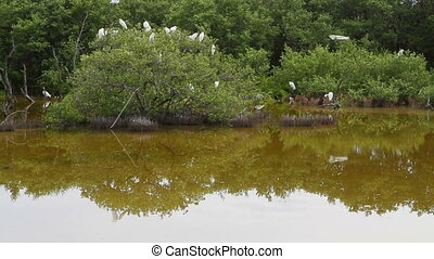 Egret Sanctuary - Flock of Great Egret roosts in the...