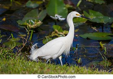Egret - Snowy egret in Everglades National Park, Florida.