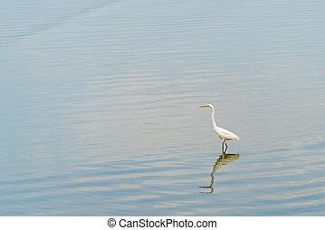 egret, standing, riflessione, uno, acqua, fondo
