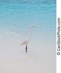 egret, tropikalny, biała plaża