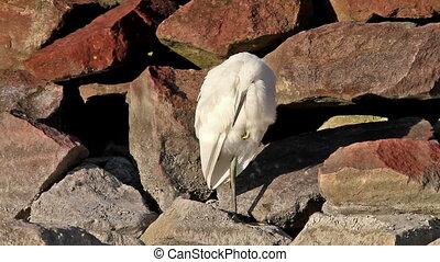 Egret - Cute little egret resting on the rock