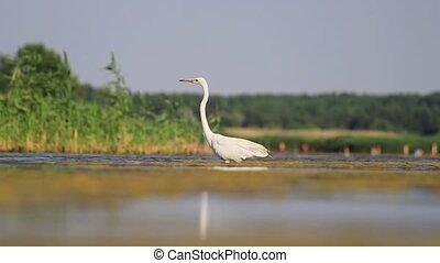 egret walking in shallow water, beach, summer day