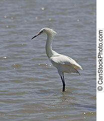 egret, weißes, rötlich, morph