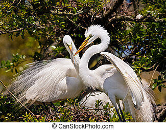 Egrets Build Nest - Two great egrets, one with a stick in it...