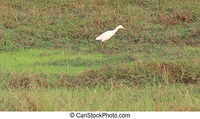 Egrets in paddy field - Cattle Egrets walking through paddy...