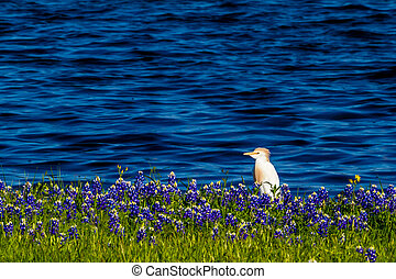 Egrets in Texas Bluebonnets.