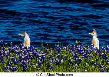 Egrets in Texas Bluebonnets