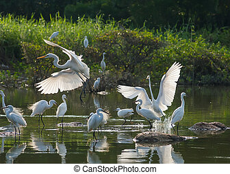 egrets play in water land