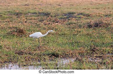 egretta Alba - Side view of egretta alba