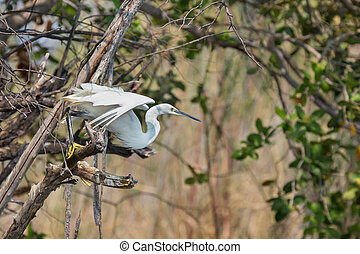 egretta garzetta starts flying from branch