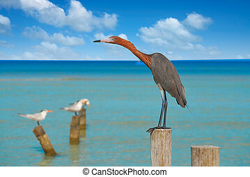 Egretta rufescens or Reddish Egret heron bird in Caribbean ...