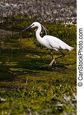 Egretta Thula (4) - Egretta Thula wading in a swamp (4)