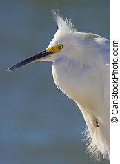 Egretta thula - Snowy Egret, blue water background