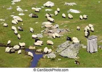 egy, nagy csoport, közül, sheep, képben látható, hegy