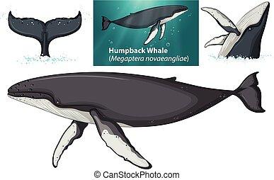 egy, púpos ember bálnavadászat, betű