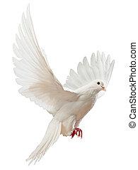 egy, szabad, repülés, fehér galamb, elszigetelt