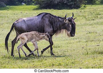 egy, wildebeest, anya, és, most, születésű, borjú,...