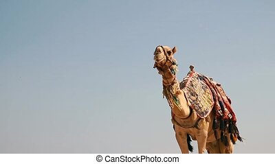 Egypt, Hurghada, a large camel on the beach red sea