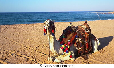 Egypt tourism with camel and danger of mers corona virus - ...