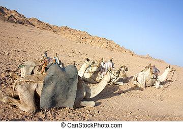 egyptain camels in the desert