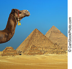 egypte, voorkant, piramide, kameel