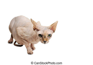 bald cat - egyptian bald cat on white background