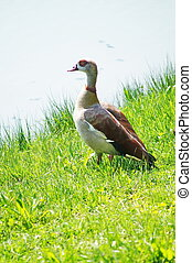 Egyptian geese on the shore of a lake