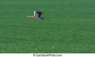 Egyptian goose- Alopochen aegyptiac