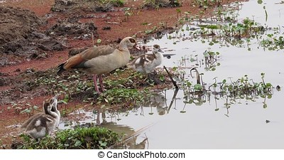 Egyptian Goose, alopochen aegyptiacus, Adult and Goslings,...