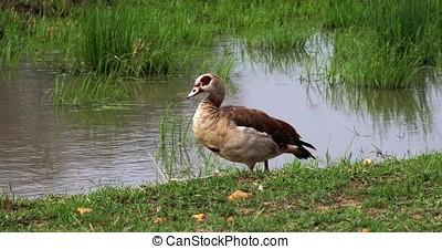Egyptian Goose, alopochen aegyptiacus, Male walking near...