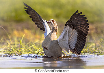 Egyptian goose flying off - Egyptian goose (Alopochen ...