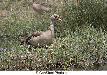 Egyptian goose grazing on a meadow near a small pond in the savanna in the dry season