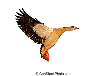 Egyptian goose in flight - Egyptian goose (Alopochen...