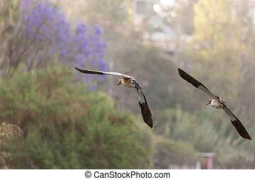 Egyptian Goose in mid flight - Egyptian Goose (Alopochen...
