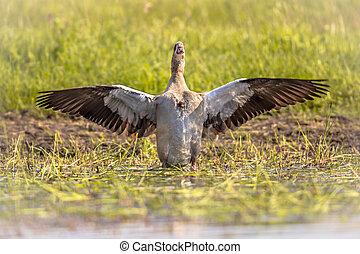 Egyptian goose spreading wings - Egyptian goose (Alopochen ...