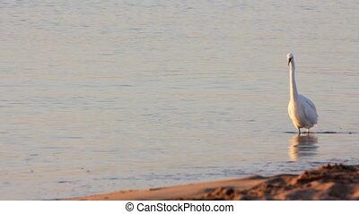 Egyptian heron bird walking on coastline