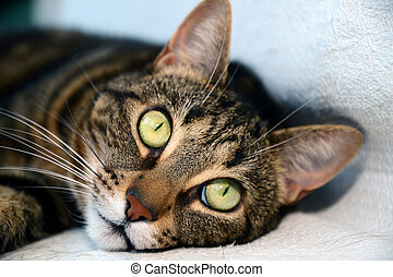 Egyptian Mau cat - big eyes - Photo of a egyptian mau cat...